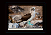Blue-Footed Booby (13x19)