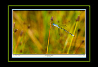 Lyre-tipped Spreadwing (13x19)