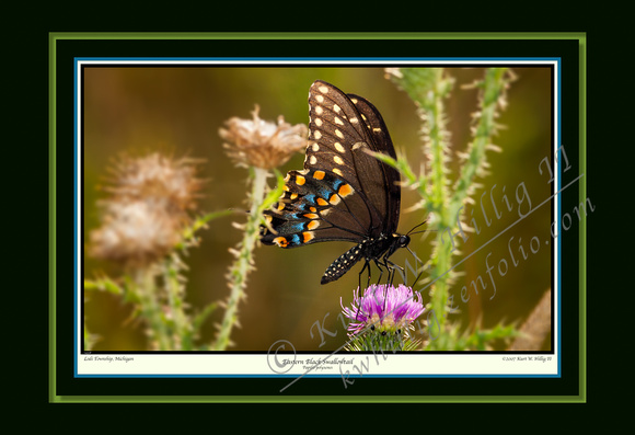 Eastern Black Swallowtail (13x19)